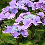 Hortensia púrpura Fotos de archivo libres de regalías