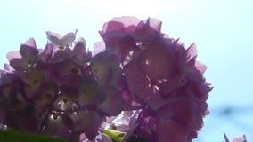 Hortensia púrpura Foto de archivo libre de regalías