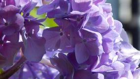 Hortensia púrpura Fotografía de archivo libre de regalías