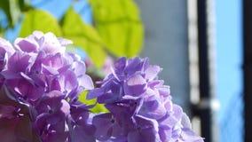 Hortensia púrpura Fotos de archivo