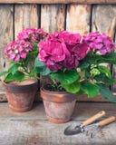 Hortensia púrpura en un pote del vintage con los instrumentos del jardín imagen de archivo