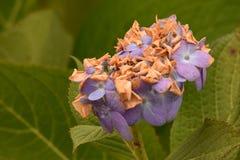 Hortensia púrpura que se descolora entre las hojas verdes Foto de archivo libre de regalías