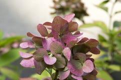 Hortensia púrpura rosado en la floración, arbusto ornamental foto de archivo