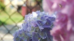 Hortensia púrpura y rosado Fotografía de archivo libre de regalías