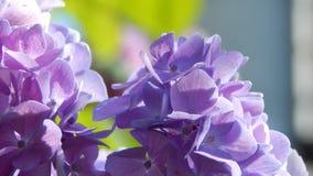 Hortensia púrpura y rosado Foto de archivo
