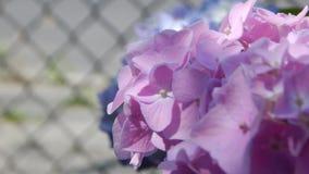 Hortensia púrpura y rosado Fotos de archivo