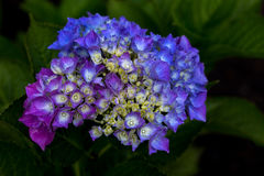 Hortensia. Portrait of hortensia flower in the summer garden Stock Photography
