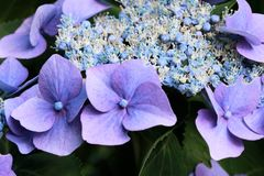 Hortensia pourpre Photo libre de droits