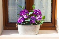 Hortensia pourpre dans un pot de fleur sur un filon-couche de fenêtre Photos libres de droits