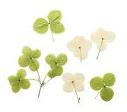 Hortensia pressé et sec de fleur D'isolement Photographie stock