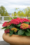 Hortensia. Red hydrangea growing in a clay pot outdoors Stock Photography