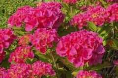 Hortensia roja hermosa en la plena floración Imagen de archivo libre de regalías