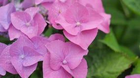 Hortensia rosa clara en el primero plano en un fondo verde Foto de archivo