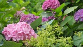 Hortensia rosa clara en el primero plano en un fondo verde Imagenes de archivo