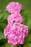 Hortensia rosada de la flor Fotos de archivo libres de regalías