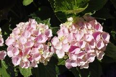 Hortensia rosada de la flor Foto de archivo libre de regalías