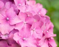 Hortensia rosada de la flor Foco suave Imagen de archivo