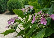 Hortensia rosada del lacecap foto de archivo libre de regalías