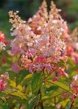 Hortensia rosada floreciente del jardín Imágenes de archivo libres de regalías