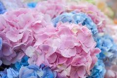 Hortensia rose bleu Photo stock