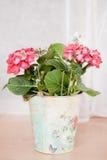 Hortensia rose dans le seau Image stock