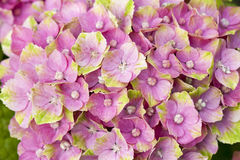 Hortensia rose et vert Photos stock