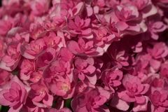 Hortensia rose mol Photographie stock libre de droits