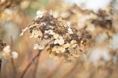 Hortensia seca del otoño Imagen de archivo libre de regalías
