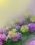 Hortensia su fondo floreale Fotografie Stock