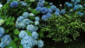 Hortensia tree in botanic garden stock video footage