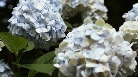 Hortensia tree in botanic garden stock video