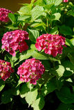 Hortensia v Royalty Free Stock Photos