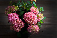 Hortensia vanlig hortensia, träbakgrund Arkivfoton