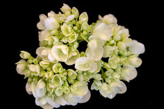Hortensia vert clair Image stock