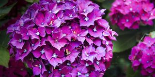 Free Hortensia Violet Blooming In Spring Stock Photo - 113646540