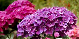 Hortensia Violet Blooming In Spring Garden Royalty Free Stock Photos