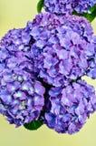 Hortensia violeta brillante en fondo verde claro Foto de archivo