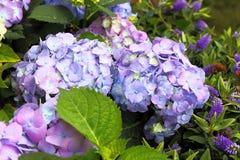 hortensia Violeta-rosado en el primer del jardín Imagenes de archivo