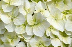 Hortensia Royalty Free Stock Photo