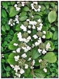 Hortensia. White flowers Stock Photos