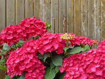Hortensia on wood wall Stock Images