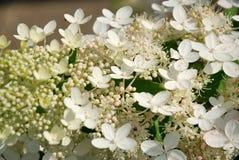Hortensiabloem Stock Fotografie