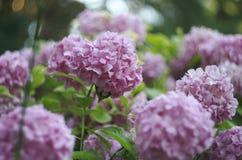 Hortensiablumen-Hortensiehintergrund stockfotos