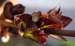 Hortensiaknopp Arkivfoton