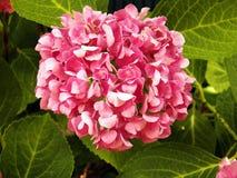 hortensiapurple Royaltyfri Foto