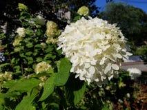 Hortensias blancas del jardín Fotografía de archivo libre de regalías
