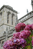 Hortensias and church in Locronan. Hortensias in Locronan, a medieval village in Brittany, northern France, with the cathedral is in the background Royalty Free Stock Images