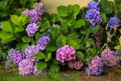 Hortensias colorés dans le jardin Image libre de droits
