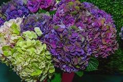 Hortensias coloridas grandes en la calle en la tienda en la venta para un regalo para la luz del fondo y la luz El marke del ` s  imagen de archivo