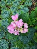 Hortensias couverts de rosée parmi des succulents Photo libre de droits